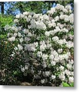 White Rhododendron Blooming In The Garden Metal Print