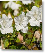 White Rhododendron Flowers In Bloom. Metal Print