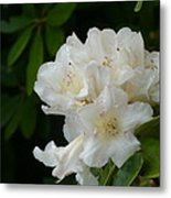 White Rhododendron With Tears Metal Print