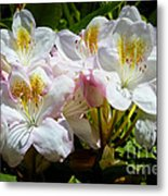 White Rhododendron In Sunlight Metal Print