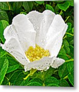 White Rose At Norris Point In Gros Morne National Park-newfoundland  Metal Print