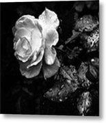 White Rose Full Bloom Metal Print