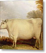 White Short-horned Cow In A Landscape Metal Print
