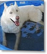White Siberian Husky In Pool Metal Print