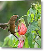 White-sided Flowerpiercer Metal Print