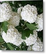 White Snowball Bush Metal Print