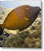 White Spotted Filefish Metal Print