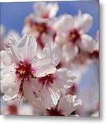 White Spring Almond Flowers Metal Print