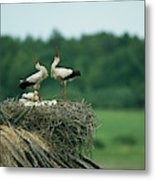 White Storks Displaying In Their Nest Metal Print