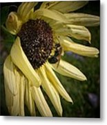 White Sunflower And Bee Metal Print