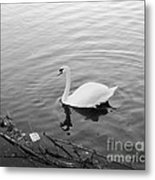 White Swan Solitary Metal Print