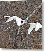 White Swans In Flight 1589 Metal Print