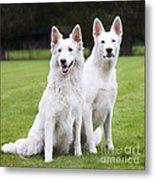 White Swiss Shepherd Dogs Metal Print