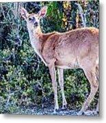 White Tail Deer Bambi In The Wild Metal Print
