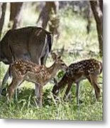 White-tail Twins Portrait Metal Print by Dana Moyer