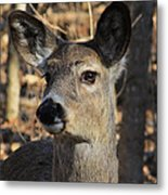 White Tailed Deer 1 Metal Print