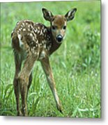 White-tailed Deer Fawn Meadow Metal Print