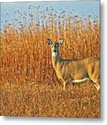 White Tailed Deer In Morning Light Metal Print