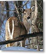 White-tailed Deer Metal Print