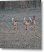 White Tailed Deer Running Metal Print