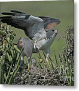 White-tailed Hawks At Nest Metal Print