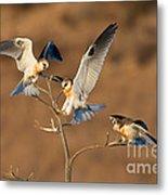 White-tailed Kite Trio Metal Print