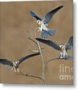 White-tailed Kite Young Metal Print
