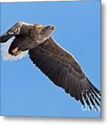 White-tailed Sea Eagle Soars Metal Print