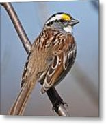 White-throated Sparrow Pictures 108 Metal Print