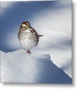 White Throated Sparrow Square Metal Print