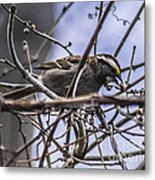 White-throated Sparrow With Berry Metal Print