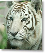 White Tiger Metal Print by Karen Lindquist