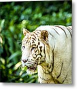 White Tiger Portriat Metal Print