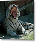 White Tiger Reno Nv 3 Metal Print