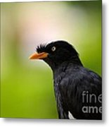 White Vented Myna Bird With Feathers Standing Above Beak Metal Print