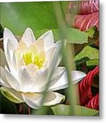 White Water Lilly Or Lotus Flower Metal Print