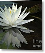 White Water Lily Reflections Metal Print