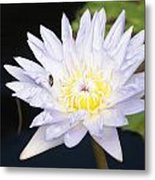 White Waterlily With Fly...   # Metal Print