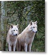 White Wolf Pair Metal Print