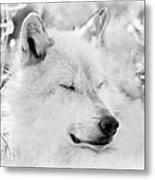 White Wolf Shut Eye Metal Print