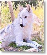 White Wolf Taking It Easy Metal Print