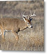 Whitetail Buck On The Move Metal Print