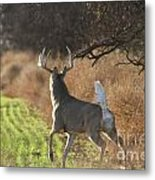 Whitetail Buck Rut Metal Print