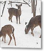 Whitetail Deer In Snowy Woods Metal Print