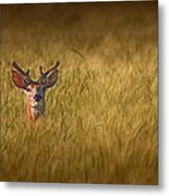 Whitetail Deer In Wheat Field Metal Print