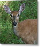 Whitetail Portrait In Valley Forge National Park Metal Print