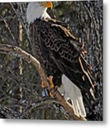 Who Ruffled The Feathers Metal Print
