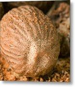 Whole Nutmeg Nuts Metal Print