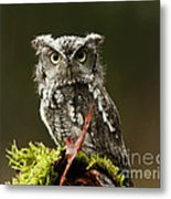 Whooo Goes There... Eastern Screech Owl  Metal Print