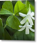 Whtie Clover Flower Metal Print